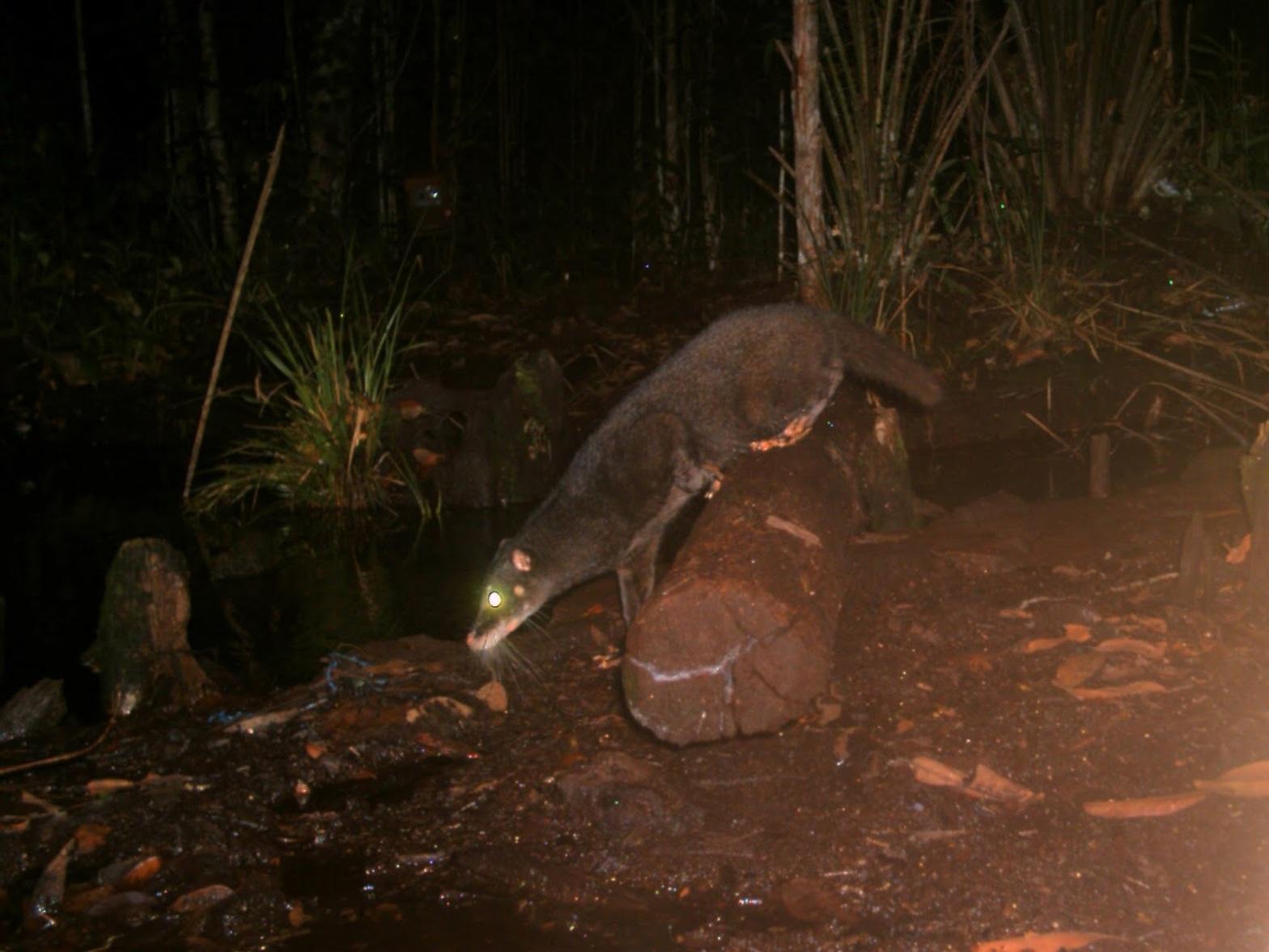 Otter Civet Cynogale bennettii
