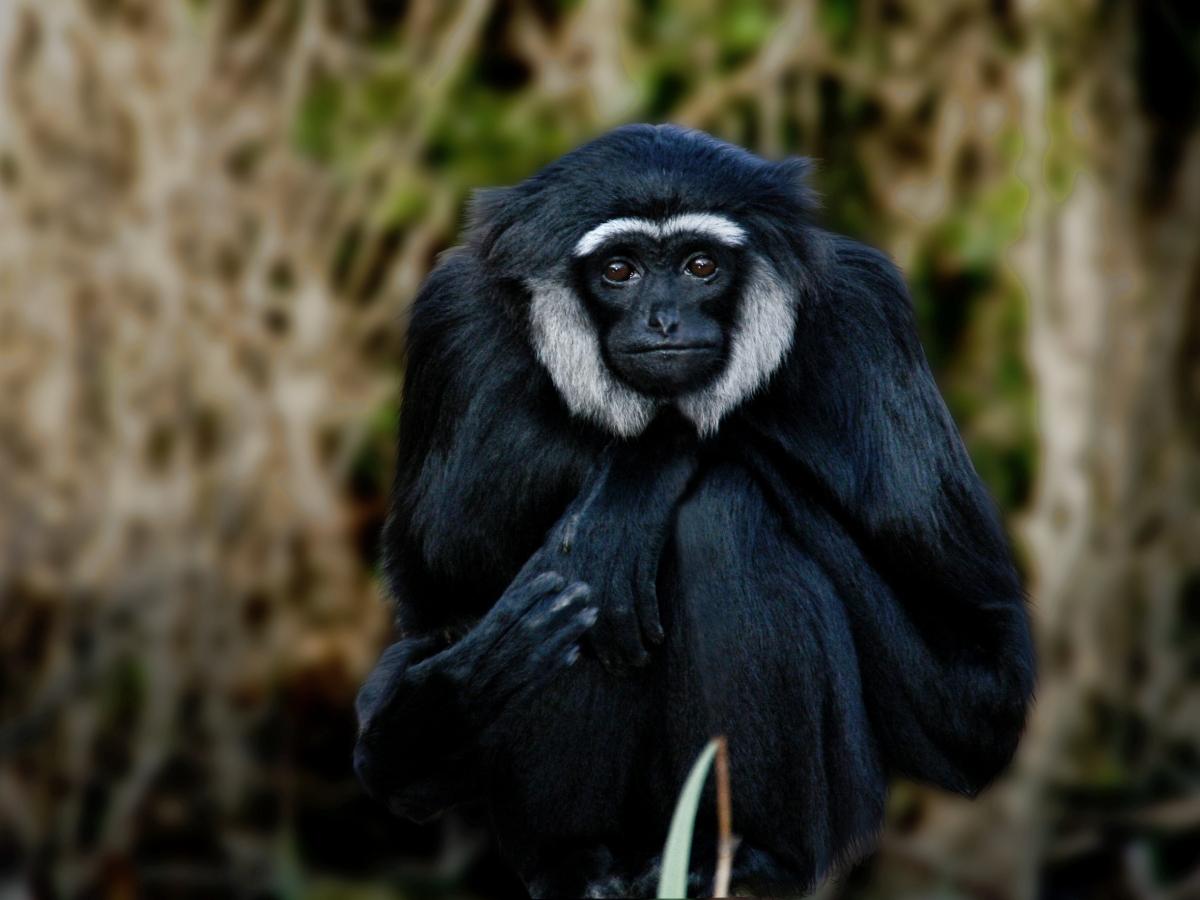Agile Gibbon Hylobates agilis