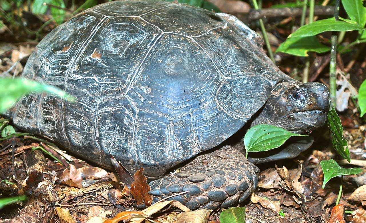 Giant Asian Forest Tortoise, Manouria emys