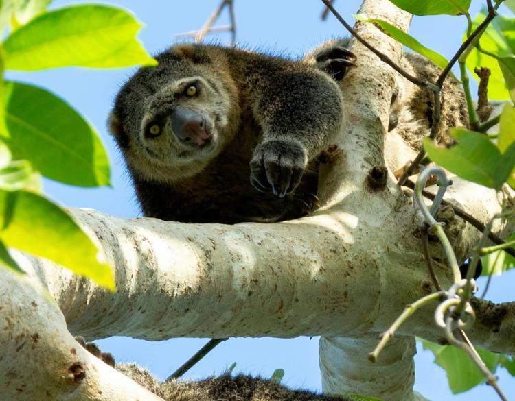 Bear Cuscus Ailurops ursinus