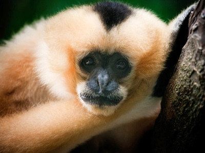 Black Crested Gibbon Nomascus concolor
