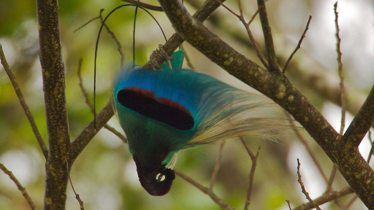 Blue Bird-of-paradise Paradisornis rudolphi
