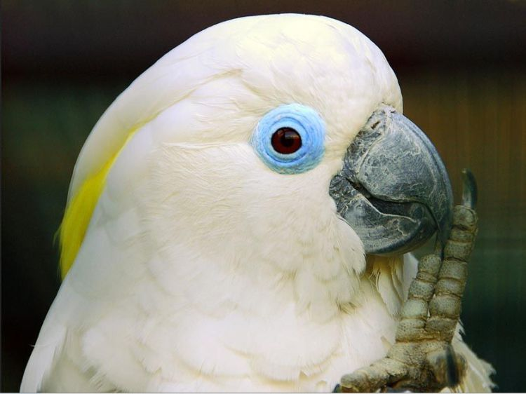 Blue-eyed Cockatoo Cacatua ophthalmica