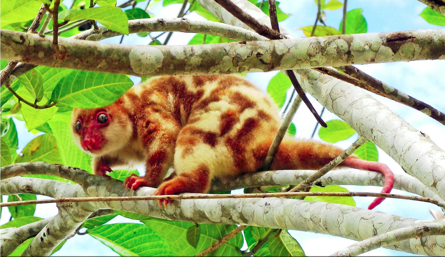 Blue-eyed Spotted Cuscus Spilocuscus wilsoni