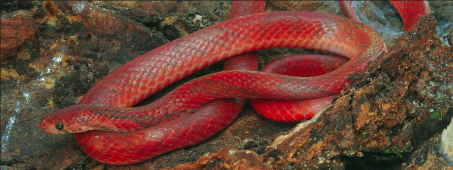 Boo-liat's Kukri Snake Oligodon booliati
