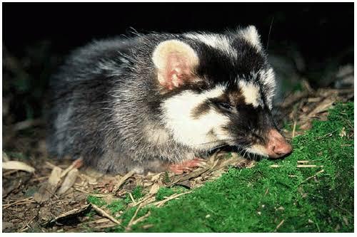 Bornean Ferret Badger Melogale everetti