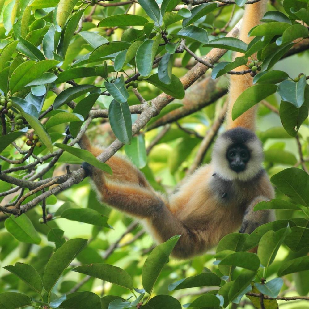 Cao-vit Gibbon Nomascus nasutus