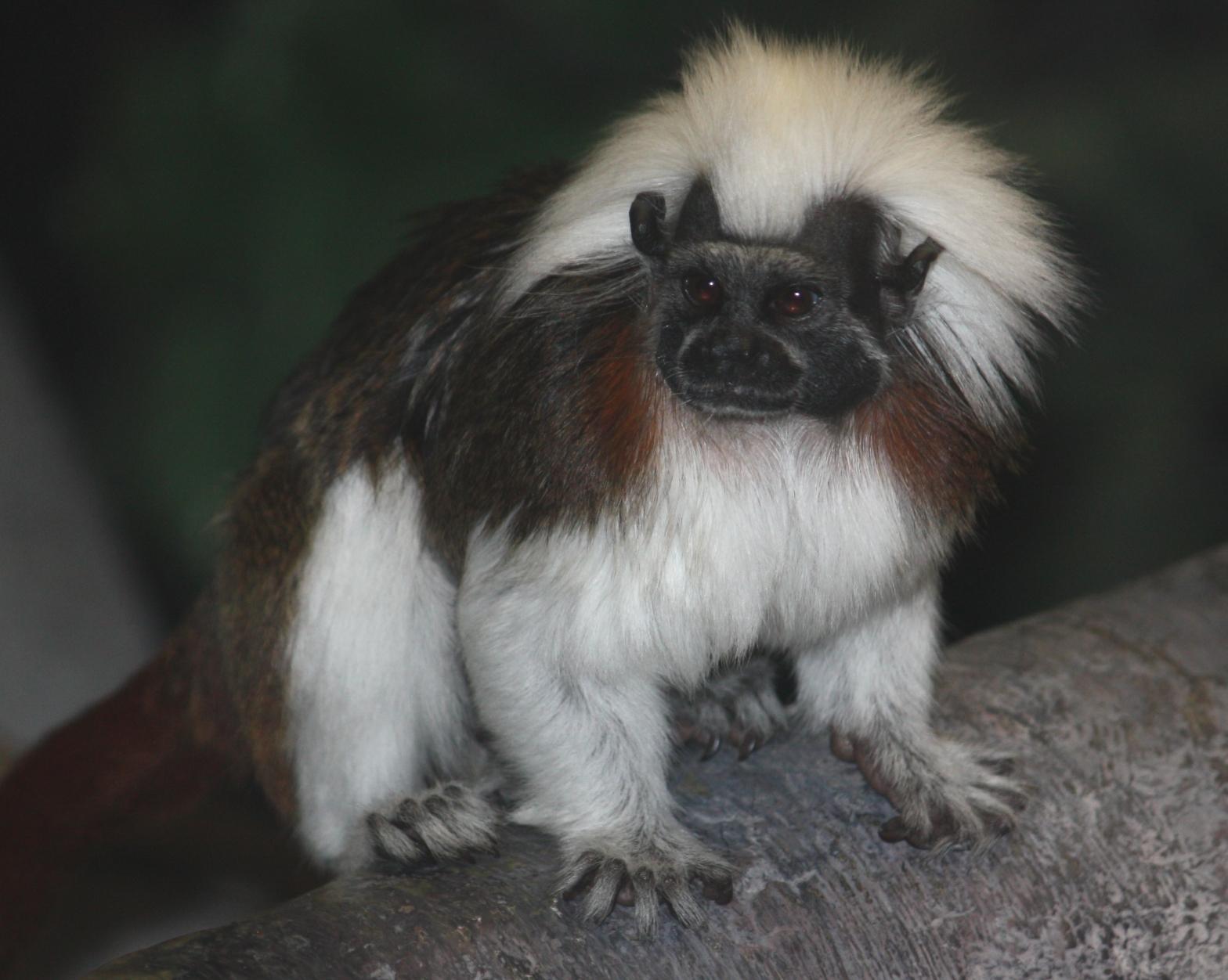 Cotton-headed Tamarin Saguinus oedipus