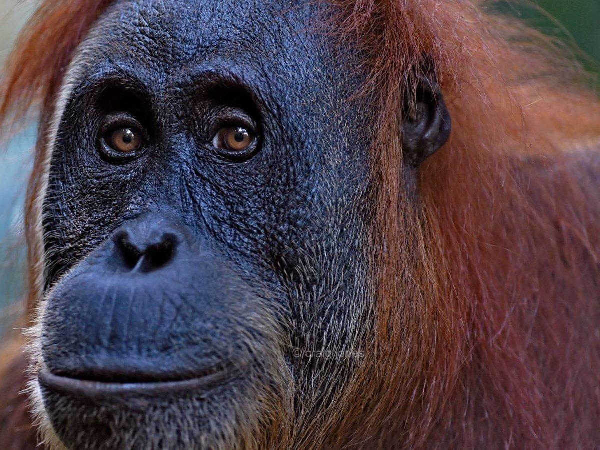 Sumatran Orangutan by Craig Jones Photography