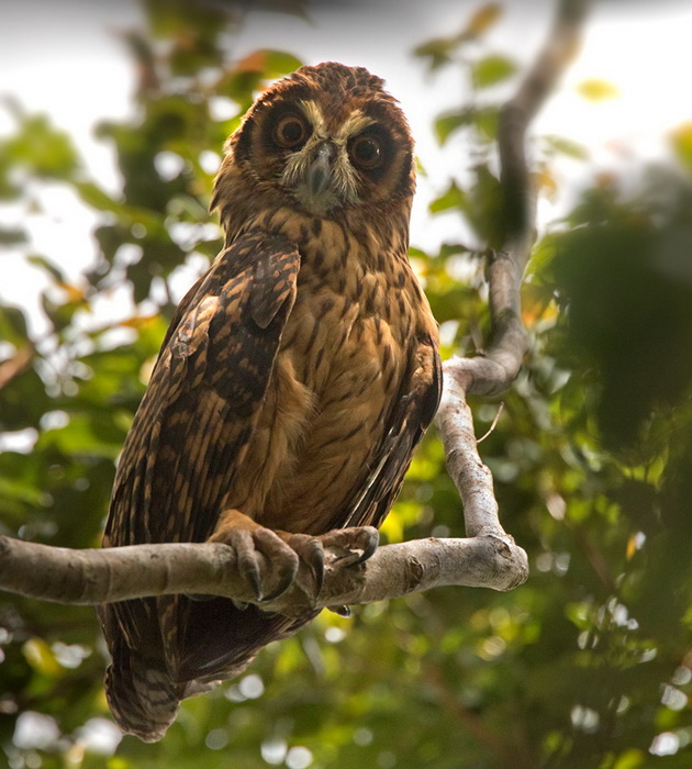 Fearful Owl Nesasio solomonensis