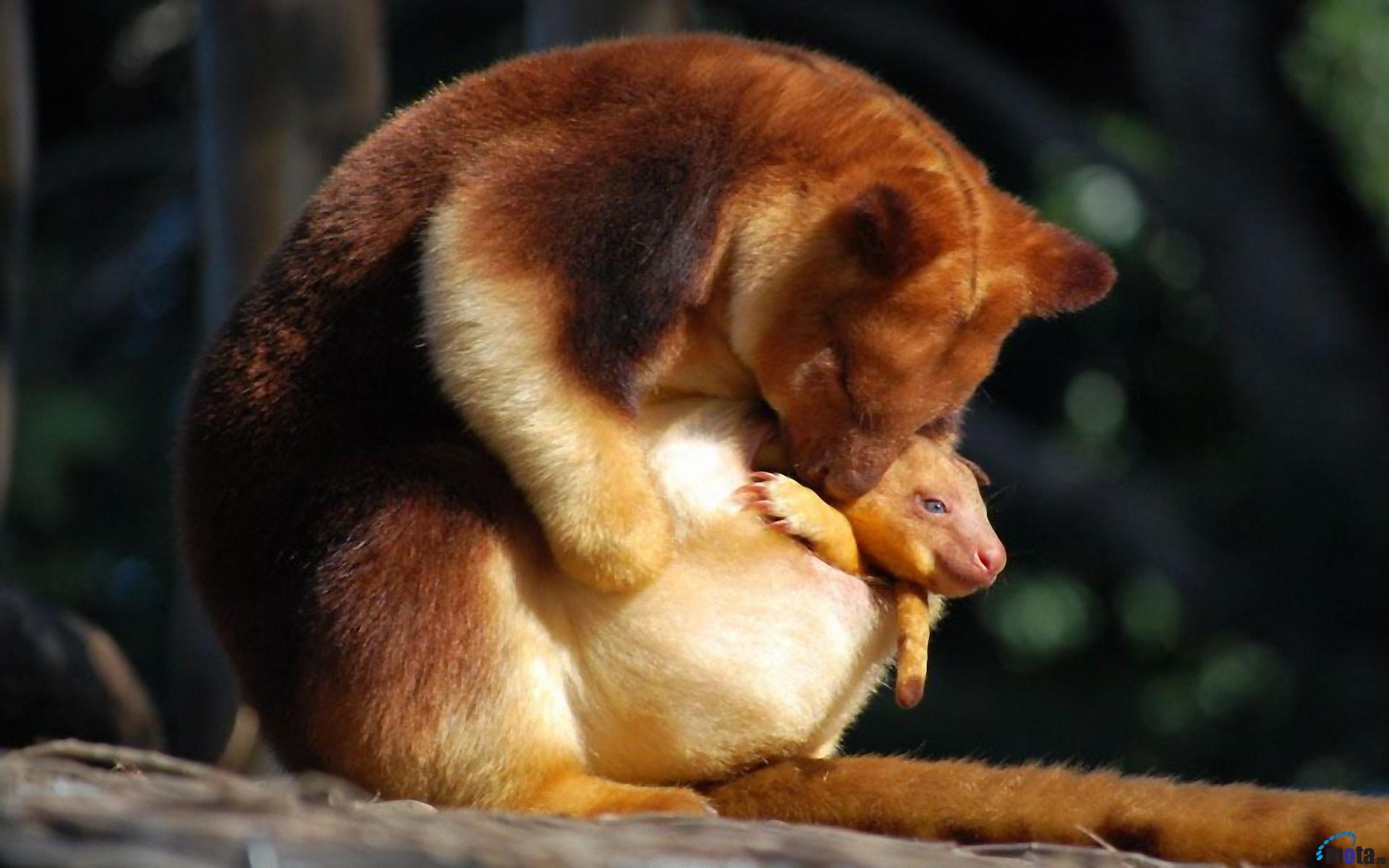 Golden-mantled Tree Kangaroo Dendrolagus pulcherrimus