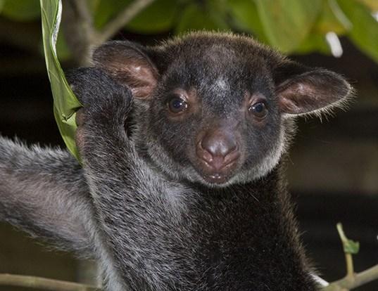Grizzled Tree Kangaroo Dendrolagus inustus