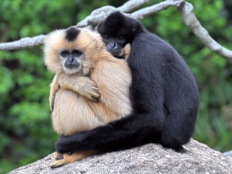 Hainan Gibbon Nomascus hainanus