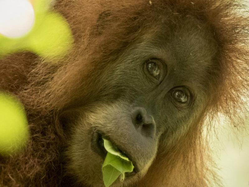 Tapanuli Orangutan Pongo tapanuliensis