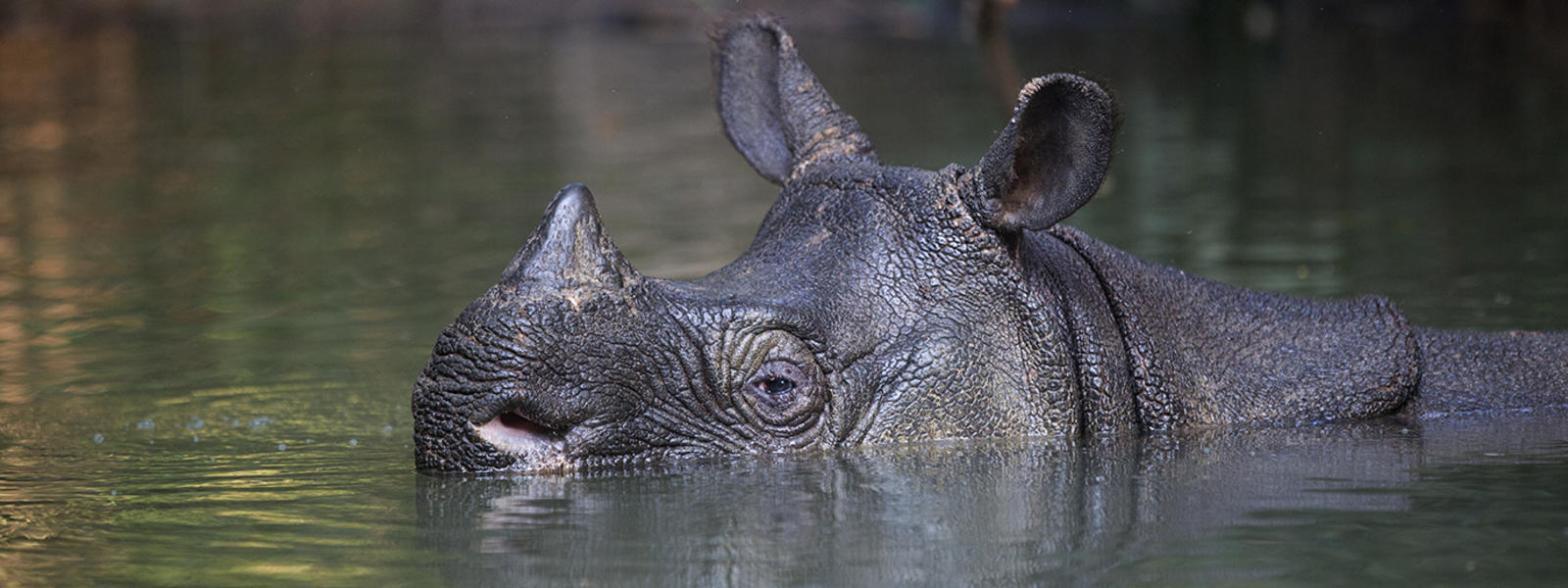 Javan Rhinoceros Rhinoceros sondaicus