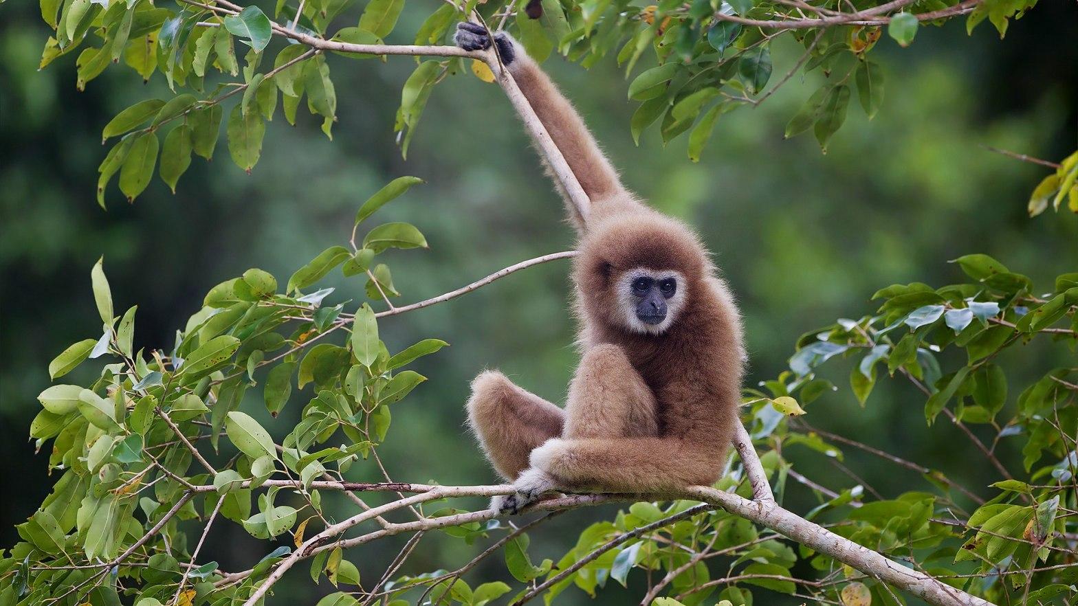 Lar Gibbon Hylobates lar