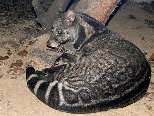 Large-spotted Civet Viverra megaspila