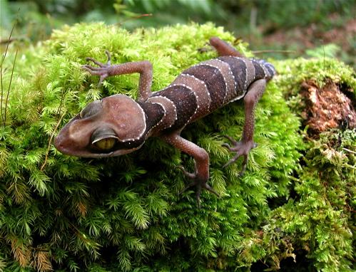 Malayan Forest Gecko Cyrtodactylus pulchellus