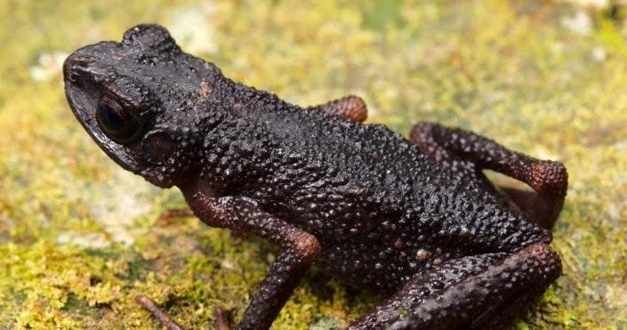 Murud Black Slender Toad Ansonia vidua