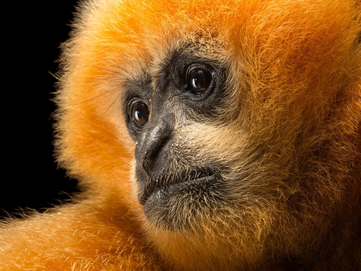 Northern White-cheeked Gibbon Nomascus leucogenys
