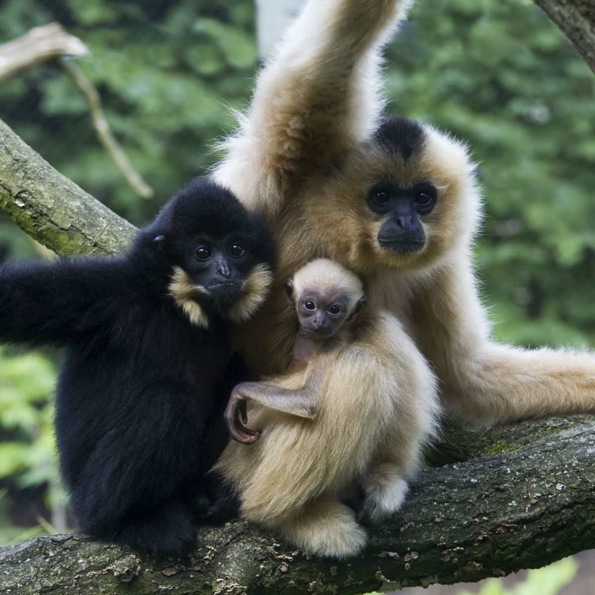 Northern Yellow-cheeked Crested Gibbon Nomascus annamensis
