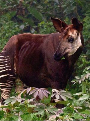 Okapi Okapia johnstoni