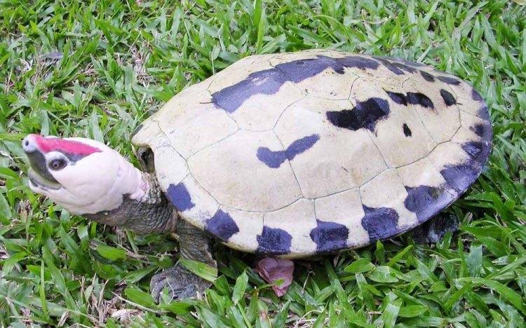 Painted Terrapin Batagur borneoensis