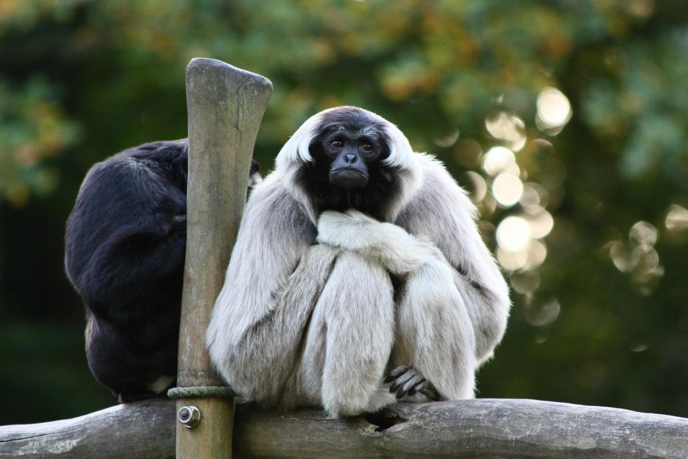 Pileated Gibbon Hylobates pileatus