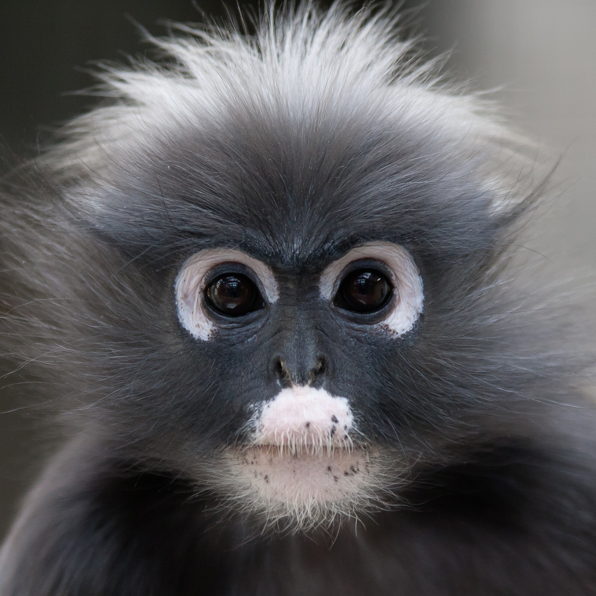 Dusky langurs—also known as spectacled langurs, dusky leaf monkeys, and spectacled leaf monkeys