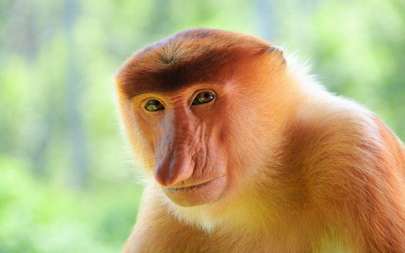 Proboscis Monkey Nasalis larvatus
