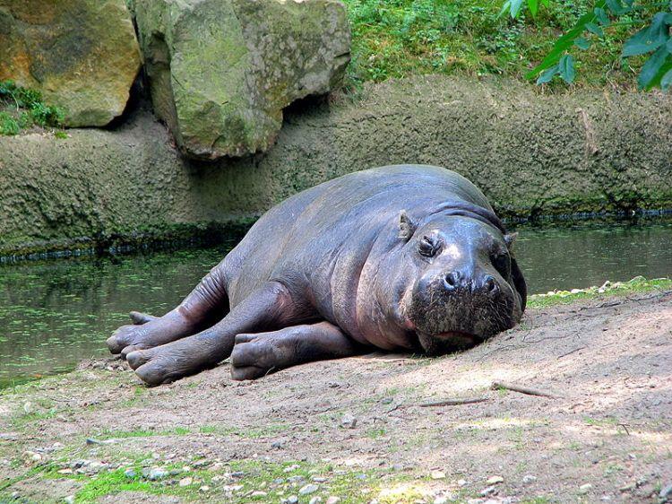 Pygmy Hippopotamus Choeropsis liberiensis