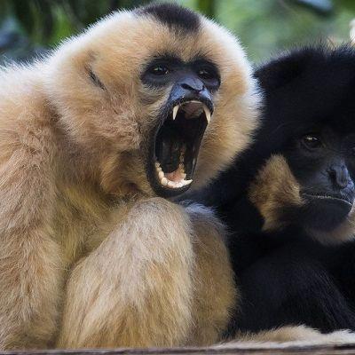 Red-cheeked Gibbon Nomascus gabriellae