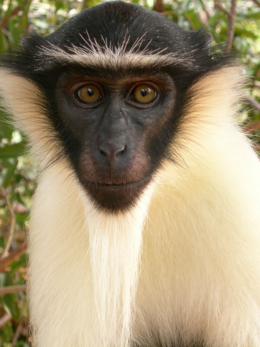 Roloway Monkey Cercopithecus roloway