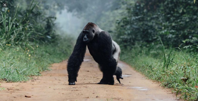 A gorilla running from fire in the jungle
