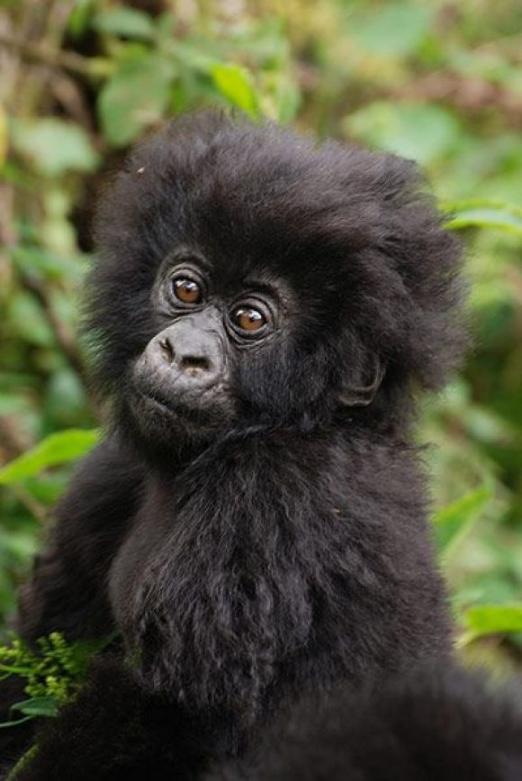 Baby gorilla. Eastern Gorilla Gorilla beringei
