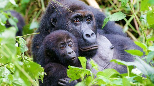 Eastern Gorilla Gorilla beringei