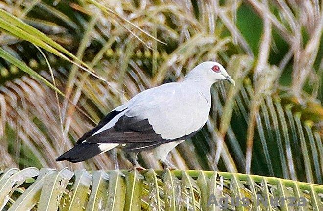 Silvery Pigeon Columba argentina