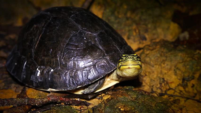 Southeast Asian Box Turtle Cuora amboinensis