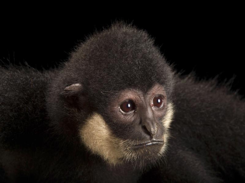 Southern White-cheeked Gibbon Nomascus siki