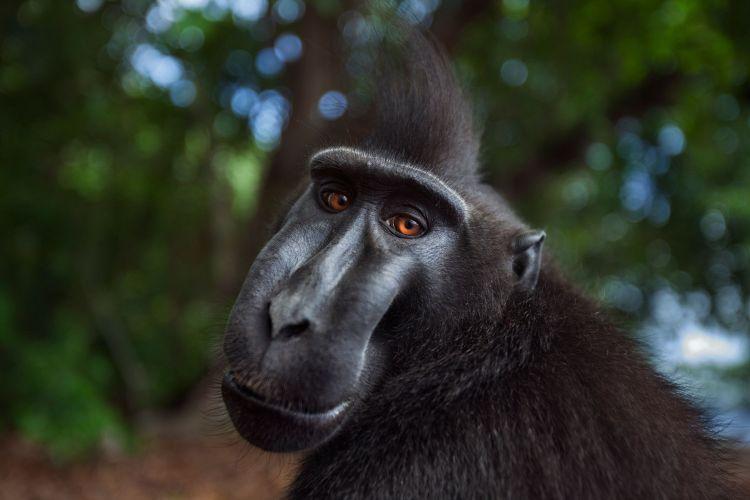 Sulawesi Crested Black Macaque Macaca nigra