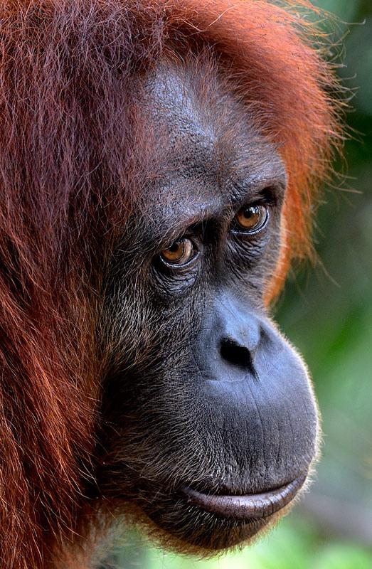 Close up of a Sumatran Orangutan by Craig Jones