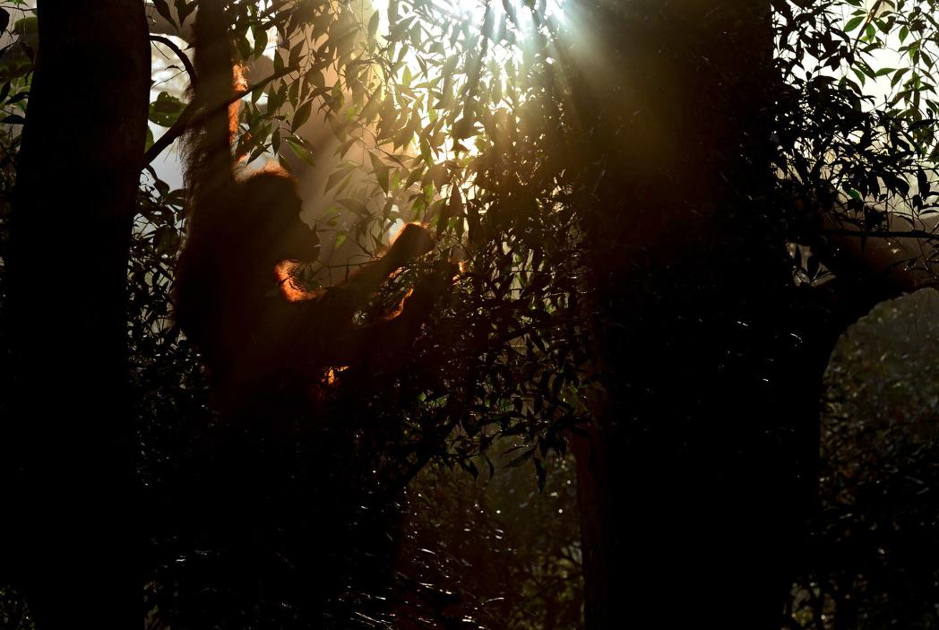 A female Sumatran Orangutan wakes by Craig Jones