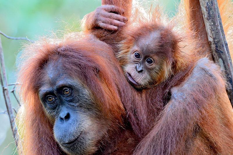 Sumatran Orangutan mother and baby by Craig Jones