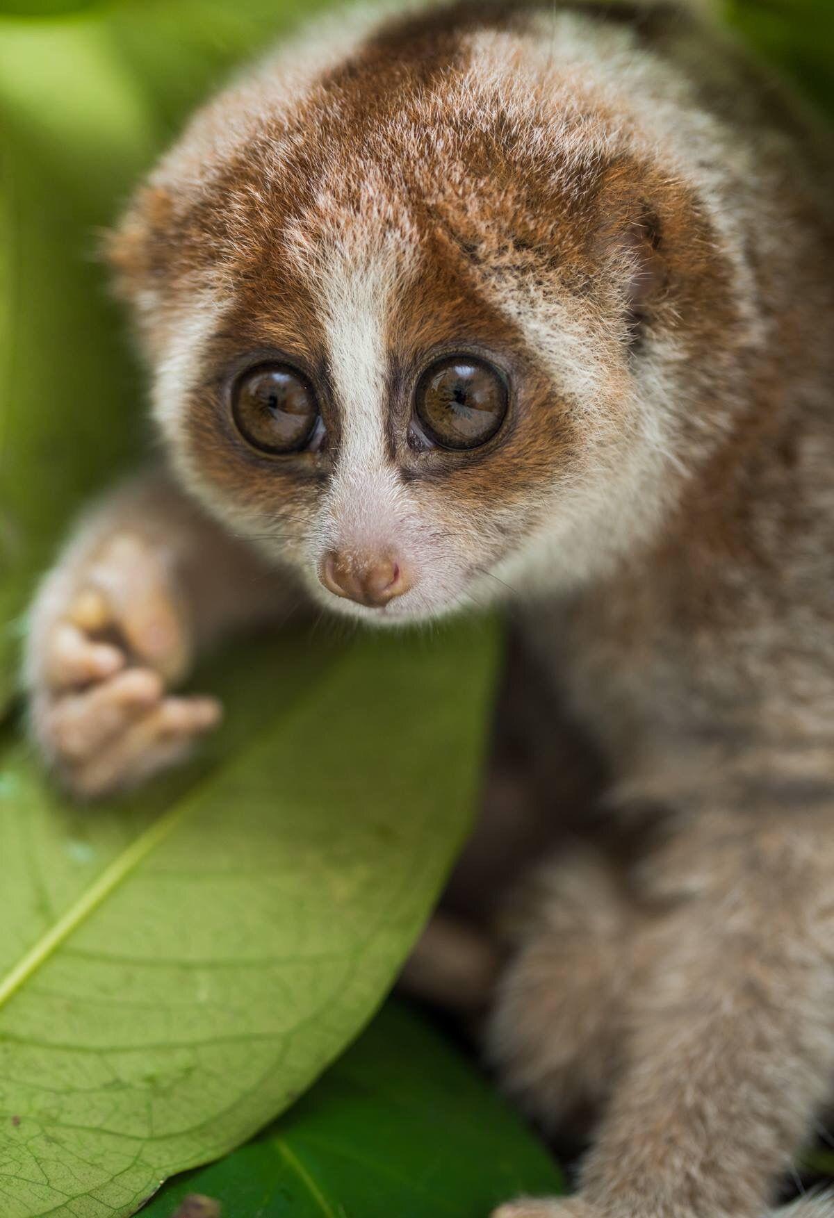 Sumatran Slow Loris Nycticebus hilleri