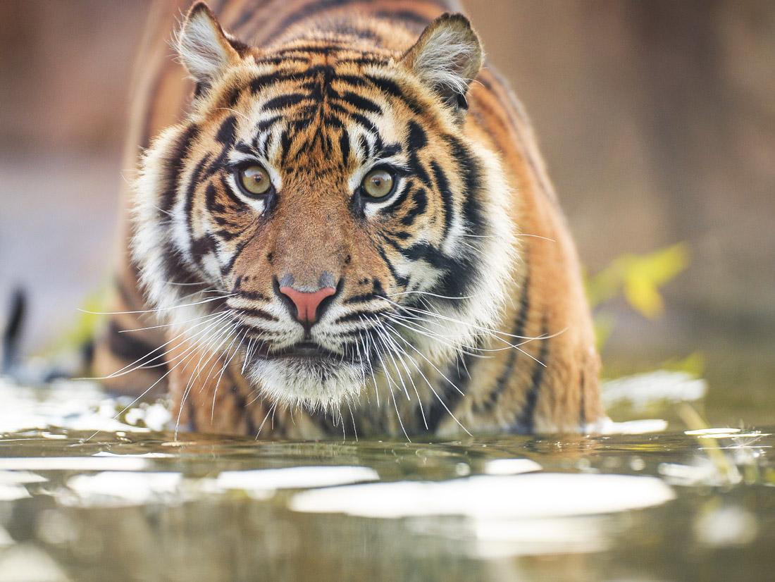 Sumatran Tiger Panthera tigris sumatrae