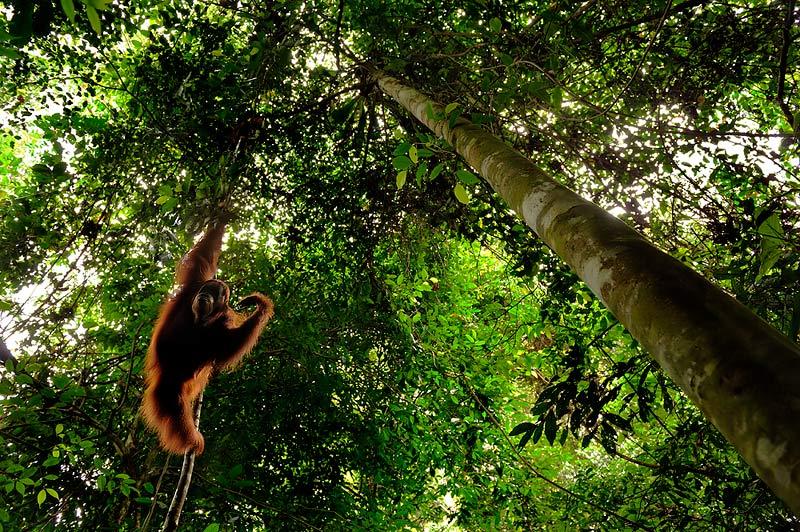 Swinging - Sumatran Orangutan by Craig Jones
