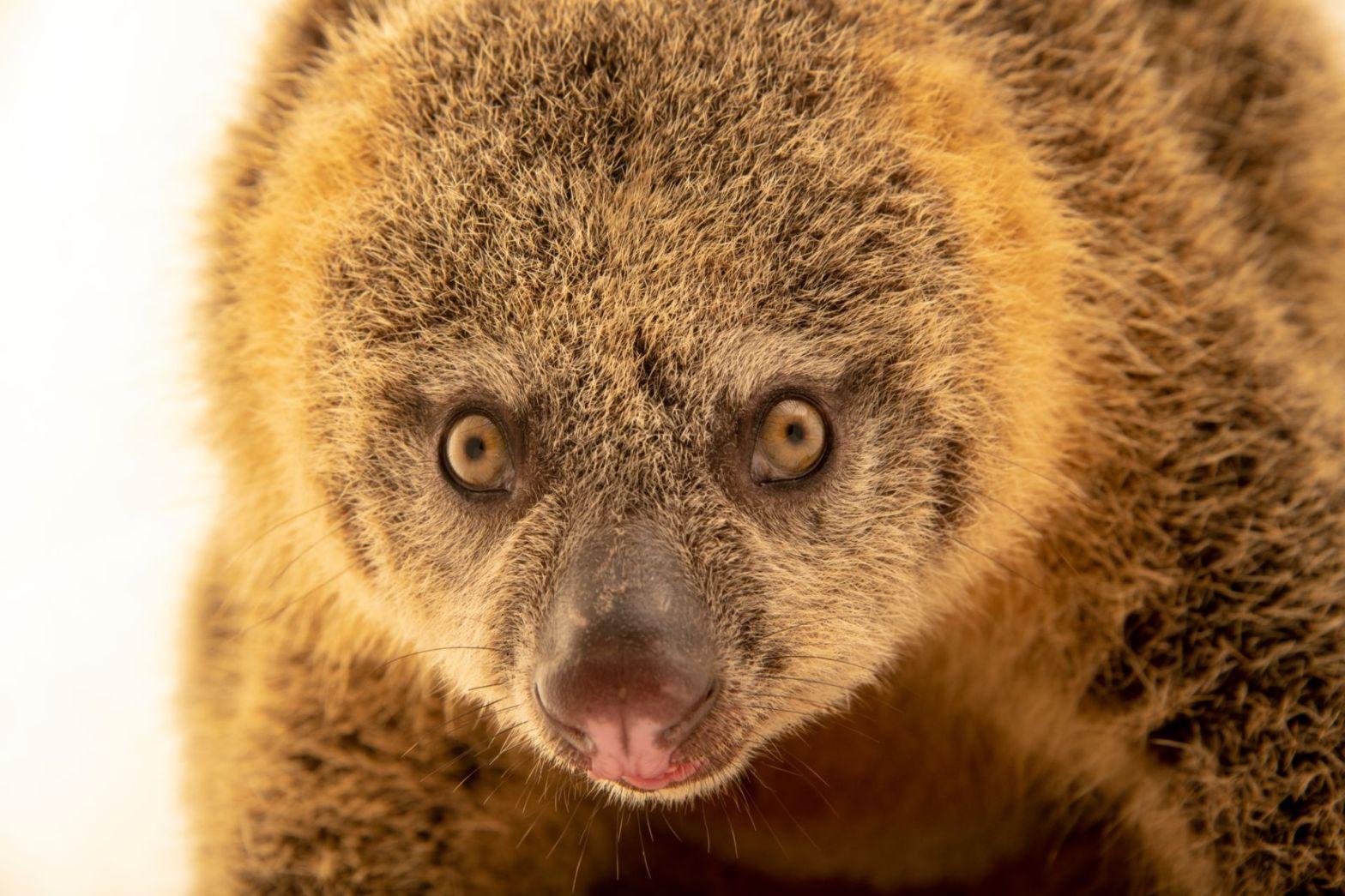 Talaud Bear Cuscus Ailurops melanotis
