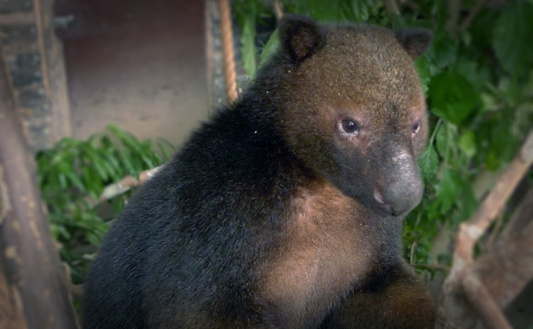 scottae is critically endangered in Papua New Guinea