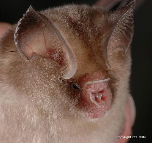 Thailand Leaf-nosed Bat Hipposideros halophyllus