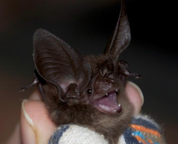 Thomass Big-eared Bat Histiotus laephotis